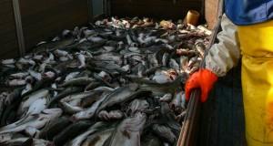 Ile jest ryb w Bałtyku?